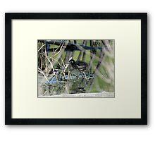 Easter chicks Framed Print
