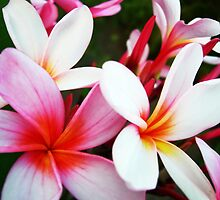 Frangipani Heaven by JuliaWright