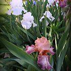 Blooming Iris by kkphoto1
