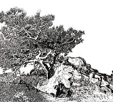 Torrey Pine Tree by Rd Riccoboni by RDRiccoboni
