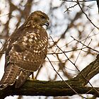 red tail hawk by marianne troia