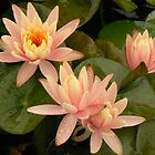 peach waterlilies with raindrops by MischaC
