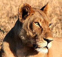 Lioness up close by Kevin Jeffery