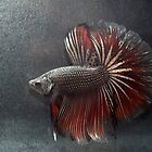 Betta Splendens by Aneurysm