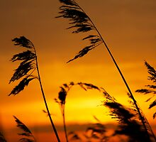 Reeds by Rick Bowden