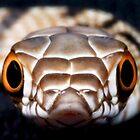 Bull Snake! by Cranston Reid