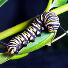 Monarch Larva on Milkweed by Cranston Reid