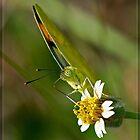 Yellow Orange Tip (Pyrene Ixias) by DonMc