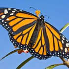 This Monarch's first flight is just moments away... by Cranston Reid