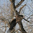Bald Eagle in flight - 7970 by BartElder
