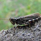 Grasshopper by Tracy Faught