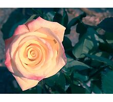Two colored rose Photographic Print