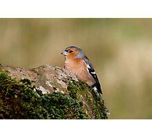 Fringilla Coelebs - Common Chaffinch (male) Photographic Print