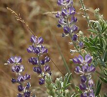 Field of Purple by NicholeHyde