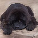 Floyd the Newfy by Cazzie Cathcart
