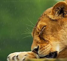 Lioness in the rain by Rick Bowden