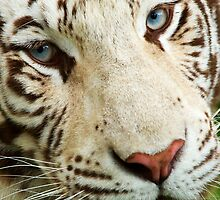 White Tiger by Rick Bowden