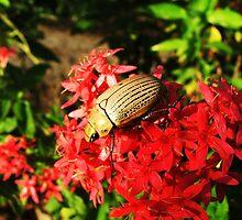 Christmas beetle enjoying the morning sun by robmac