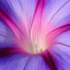 Lilac and Fuschia Morning Glory in Macro by taiche