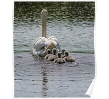 Farewell to Cygnets Poster