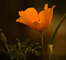 california poppy by Rachel  McKinnie
