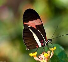 brazilian butterfly by Andrea Rapisarda