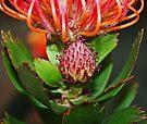 Budding Protea by Evita
