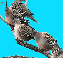 Crested Pigeons taken Yowah in Western Qld. by Alwyn Simple