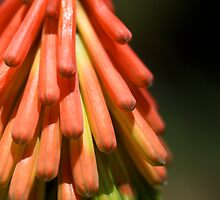 Red Hot Poker by Selina Tour
