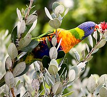 Rainbow Lorikeet by Richard  Windeyer
