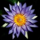 Water lily by robmac