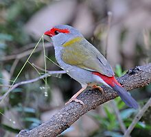 Redbrowed Finch by Alwyn Simple
