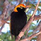Regent Bowerbird by Alwyn Simple