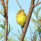 Yellow Thornbill by Alwyn Simple