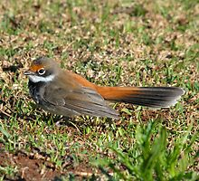 Rufous Fantail by Alwyn Simple