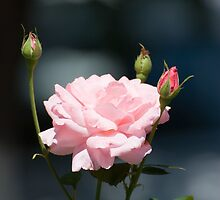 Like a rose by Adrian Bud