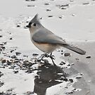 Tufted Titmouse Breakfast by LavenderMoon