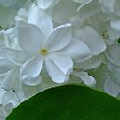 sweet jasmine by Fran E.