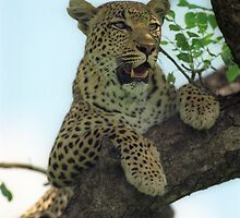 Leopard by leksele