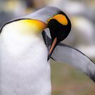 King penguin  by leksele