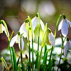 """ Snowdrops In Spring "" by Richard Couchman"