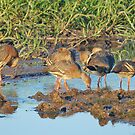Plumed Whistling Ducks, Kakadu National Park, Northern Territory, Australia by Adrian Paul