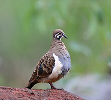 Squatter Pigeon by kenconolly