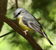 Eastern Yellow Robin by Margot Kiesskalt