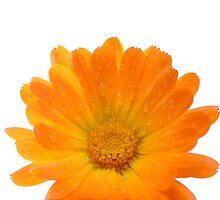 Flower sun. by bluefern
