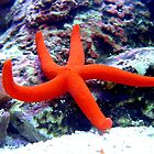 Red Starfish by Johnny Furlotte