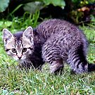 Frightened Grey Kitten by Johnny Furlotte