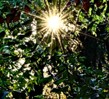 Sun rays  through trees Sticker