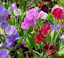 colorful sweet pea in the garden by 1busymom