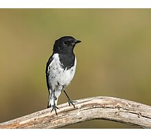 Male  Hooded Robin Photographic Print